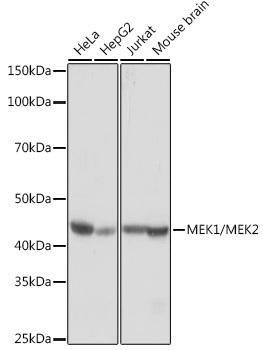 Cell Biology Antibodies 17 Anti-MEK1/MEK2 Antibody CAB4868