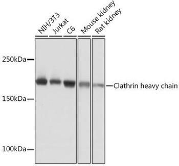 Cell Biology Antibodies 15 Anti-Clathrin heavy chain Antibody CAB4943