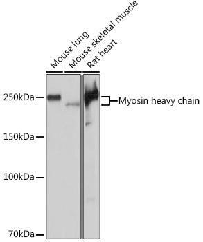 Cell Biology Antibodies 15 Anti-Myosin heavy chain Antibody CAB4963