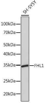 Developmental Biology Anti-FHL1 Antibody CAB5018