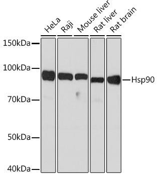 Cell Biology Antibodies 15 Anti-Hsp90 Antibody CAB5027