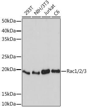 Cell Biology Antibodies 15 Anti-Rac1/2/3 Antibody CAB5080