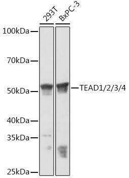 Cell Biology Antibodies 15 Anti-TEAD1/2/3/4 Antibody CAB5092