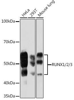 Cell Biology Antibodies 15 Anti-RUNX1/2/3 Antibody CAB5115