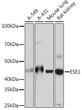 Developmental Biology Anti-ESE1 Antibody CAB5236