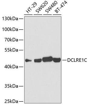 Cell Biology Antibodies 15 Anti-DCLRE1C Antibody CAB5615