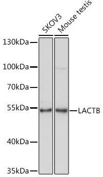 Cell Biology Antibodies 15 Anti-LACTB Antibody CAB7144