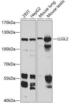 Cell Biology Antibodies 15 Anti-LLGL2 Antibody CAB8099