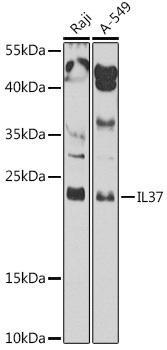 Cell Biology Antibodies 15 Anti-IL-37 Antibody CAB8206