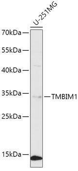 Cell Biology Antibodies 15 Anti-TMBIM1 Antibody CAB8249