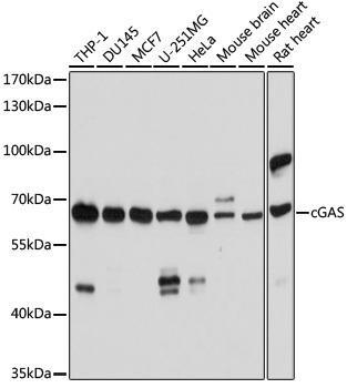 Cell Biology Antibodies 15 Anti-cGAS Antibody CAB8335