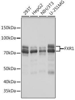 Developmental Biology Anti-FXR1 Antibody CAB8697