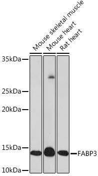 Signal Transduction Antibodies 3 Anti-FABP3 Antibody CAB8789