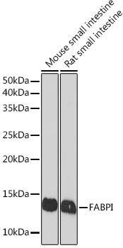 Signal Transduction Antibodies 3 Anti-FABPI Antibody CAB8895