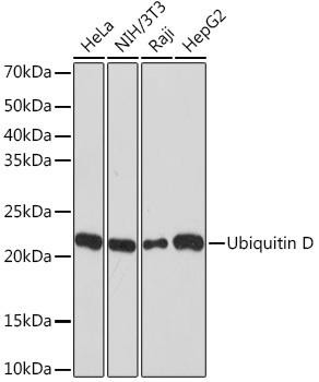 Signal Transduction Antibodies 3 Anti-Ubiquitin D Antibody CAB9005