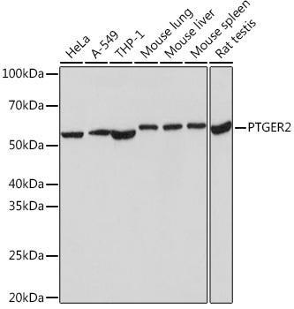 Cell Biology Antibodies 17 Anti-PTGER2 Antibody CAB9053