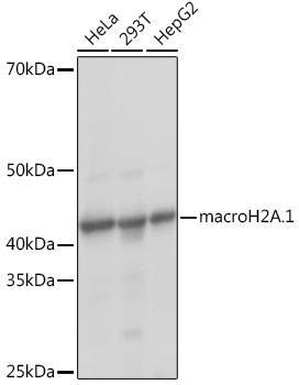 Cell Biology Antibodies 17 Anti-macroH2A.1 Antibody CAB9059