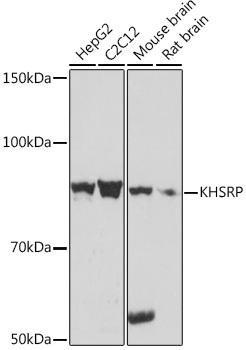 Cell Biology Antibodies 15 Anti-KHSRP Antibody CAB9075