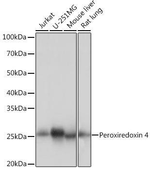 Cell Biology Antibodies 17 Anti-Peroxiredoxin 4 Antibody CAB9131