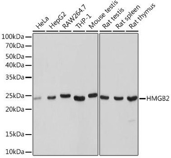 Cell Biology Antibodies 17 Anti-HMGB2 Antibody CAB9168