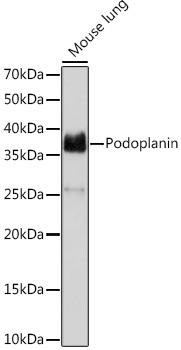 Cell Biology Antibodies 17 Anti-Podoplanin Antibody CAB9242