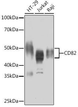 Cell Biology Antibodies 17 Anti-CD82 Antibody CAB9264