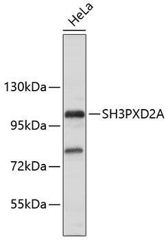 Cell Biology Antibodies 15 Anti-SH3PXD2A Antibody CAB9363