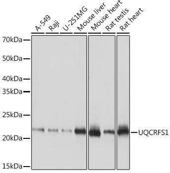 Cell Biology Antibodies 17 Anti-UQCRFS1 Antibody CAB9517