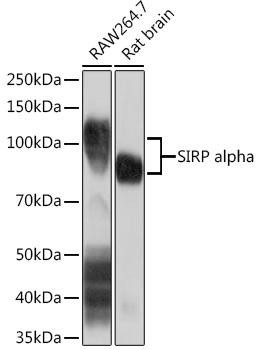 Cell Biology Antibodies 17 Anti-SIRP alpha Antibody CAB9545