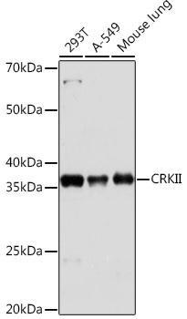 Cell Biology Antibodies 17 Anti-CRKII Antibody CAB9577