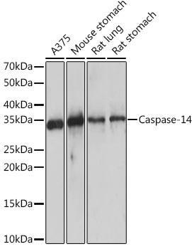 Developmental Biology Anti-Caspase-14 Antibody CAB9618