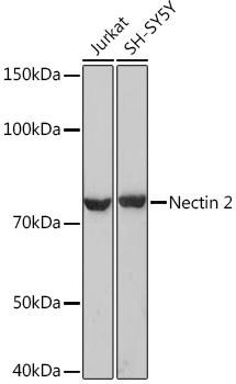 Cell Biology Antibodies 17 Anti-Nectin 2/CD112 Antibody CAB9622