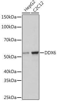 Cell Biology Antibodies 17 Anti-DDX6 Antibody CAB9634