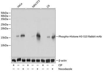 Epigenetics and Nuclear Signaling Antibodies 5 Anti-Phospho-Histone H3-S10 Antibody CABP0002