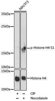 Cell Biology Antibodies 17 Anti-Phospho-Histone H4-S1 Antibody CABP0901