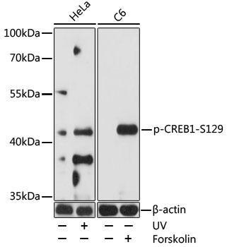 Cell Biology Antibodies 17 Anti-Phospho-CREB1-S129 Antibody CABP0903