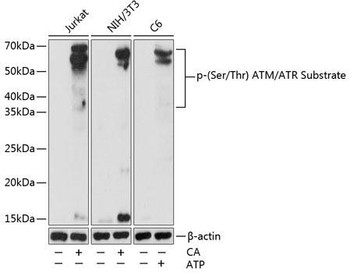 Cell Biology Antibodies 15 Anti-Phospho-Ser/Thr ATM/ATR Substrate Antibody CABP0933