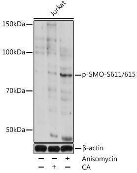 Cell Biology Antibodies 14 Anti-Phospho-SMO-S611/615 Antibody CABP0939