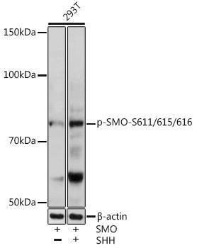 Cell Biology Antibodies 14 Anti-Phospho-SMO-S611/615/616 Antibody CABP0940