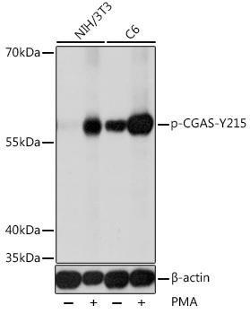 Cell Biology Antibodies 15 Anti-Phospho-CGAS-Y215 Antibody CABP0946
