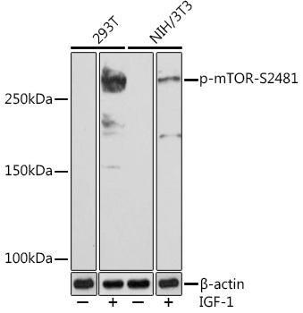 Cell Biology Antibodies 14 Anti-Phospho-mTOR-S2481 Antibody CABP0978