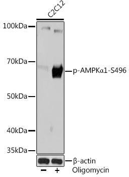 Autophagy Antibodies Anti-Phospho-AMPKAlpha1-S496 Antibody CABP1002