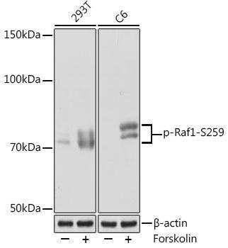 Cell Biology Antibodies 14 Anti-Phospho-Raf1-S259 Antibody CABP1012