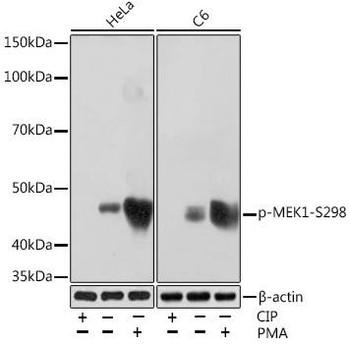 Cell Biology Antibodies 14 Anti-Phospho-MEK1-S298 Antibody CABP1020