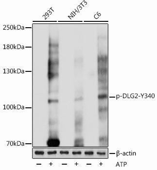 Cell Biology Antibodies 15 Anti-Phospho-DLG2-Y340 Antibody CABP1080