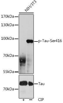 Cell Biology Antibodies 14 Anti-Phospho-Tau-Ser416 Antibody CABP1101