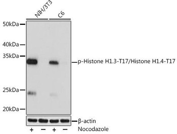 Cell Biology Antibodies 15 Anti-Phospho-Histone H1.3-T17/Histone H1.4-T17 Antibody CABP1132