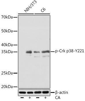 Cell Biology Antibodies 14 Anti-Phospho-Crk p38-Y221 Antibody CABP1150