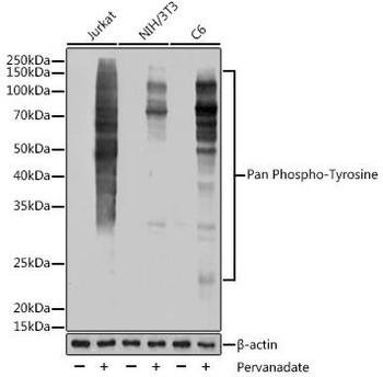 Cell Biology Antibodies 15 Anti-Pan Phospho-Tyrosine Antibody CABP1162