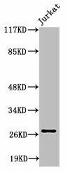 Cleaved-COL4A3 P1426 Antibody PACO00041